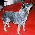 Australijski pies pasterski 71.jpg