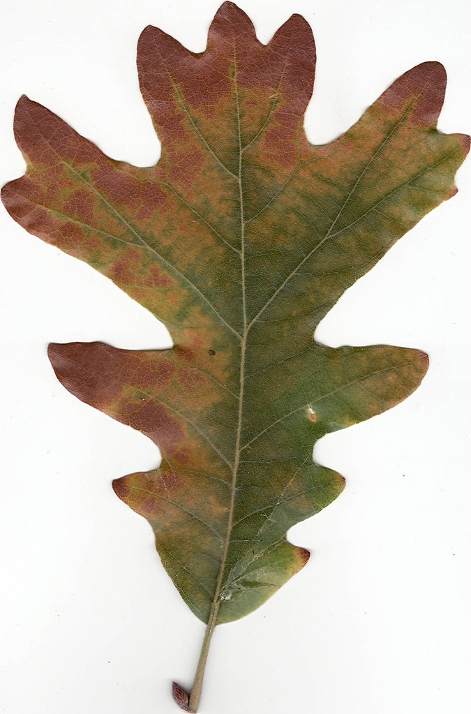 Image Result For Printable Maple Leaves