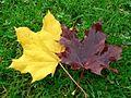 Autumn leaves on grass.jpg