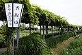 Ayame (iris) garden in Sawara - panoramio (1).jpg