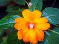 Balsam flower 2.JPG