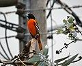 Baltimore Oriole. Icterus galbula - Flickr - gailhampshire (4).jpg