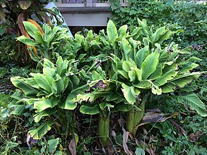 Banana bunchy top virus - A banana plant affected by bunchy top virus