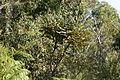 Banksia grandis canopy.JPG
