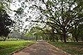 Banyan Avenue - AJC Bose Indian Botanic Garden - Howrah 2018-04-01 2345.JPG
