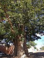 Baobá em Itaberaba na Bahia.jpg