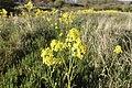 Barbarea vulgaris (Latin) Vinterkarse (Norwegian) Winter-cress Hedge mustard (English) Oslofjorden Hvasser Færder Norway 2020-05-08 7267.jpg