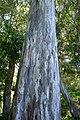 Bark . Eucalypyus (31211331234).jpg