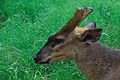 Barking Deer - Kolkata 2011-05-03 2411.JPG
