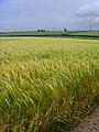 Barley in Flowery Dale - geograph.org.uk - 869768.jpg