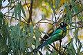 Barnardius zonarius -Alice Springs -Todd River-1.jpg