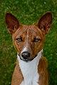 Basenji, Kongo Terrier 2.JPG