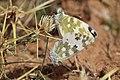 Bath white (Pontia daplidice laenas) mating.jpg