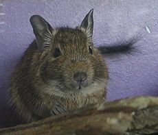 Batman-degu.jpg