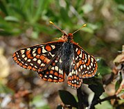 The checkerspot butterfly, a threatened species, has found a friendly habitat on the green roof of the Academy of Sciences in Golden Gate Park in San Francisco
