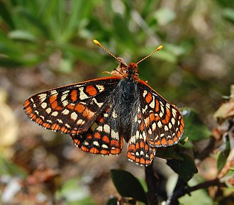 Bay checkerspot butterfly - Image: Bay Checkerspot f 1