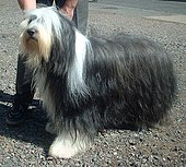 Bearded Collie showing furnishings