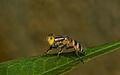 Bee-fly1.jpg