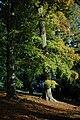Beech trees, Blenheim - geograph.org.uk - 1017040.jpg