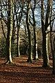 Beech trees on Crickley Hill - geograph.org.uk - 652946.jpg