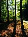 Beeches - panoramio (2).jpg