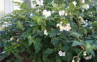 Begonia cubensis BotGardBln1105HabitusFlowers