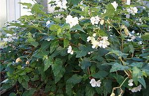 Flora of Cuba - Begonia cubensis