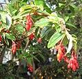 Begonia fuchsioides 01.jpg