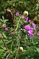 Belamcanda chinensis 12zz.jpg