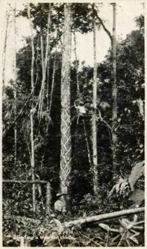Chicle - A chiclero bleeding a tree for chicle, Belize 1917