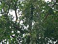 Belphal (Hindi- बेलफल) (1025053143).jpg