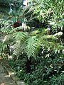 Berne botanic garden Dicksonia fibrosa.jpg