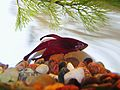 Betta splendens maschio 2.jpg