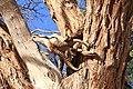 Beute auf einem Kameldornbaum bei Simplon Namibia.jpg