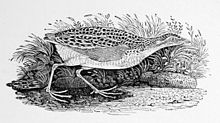 old drawing of a corn crake