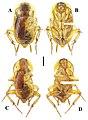 Beybienkonus acuticercus (10.3897-zookeys.867.35991) Figure 6.jpg