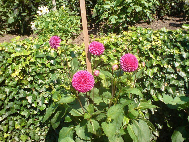 Flores Biddulph Grange ao longo Dahlia Walk.jpg: Arquivo