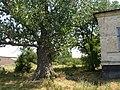 Big poplar near parochial male school building.jpg