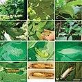 Biology of Phyllocnistis indistincta (10.3897-zookeys.736.20739) Figure 4.jpg