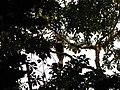 Bird Great Hornbill Buceros bicornis IMG 8659 14.jpg