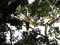 Bird Great Hornbill Buceros bicornis IMG 8659 23.jpg