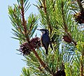 Bird eating Pine Kernels (8045030025).jpg