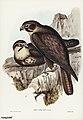Bird illustration by Elizabeth Gould for Birds of Australia, digitally enhanced from rawpixel's own facsimile book11.jpg