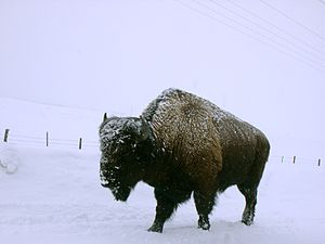 Bisonwinter.jpg
