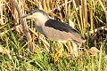 Black-Crowned Night-Heron on Lacreek NWR (12839388095).jpg