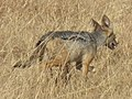 Black-backed Jackal Canis mesomelas in Tanzania 3506 cropped Nevit.jpg