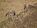 Black-backed Jackal Canis mesomelas in Tanzania 3511 Nevit.jpg