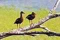 Black-bellied whistling duck (33865927468).jpg