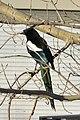 Black-billed Magpie (Pica hudsonia) - Saskatoon, Saskatchewan.jpg