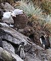 Black-browed Albatross feeding its chick (5545341661).jpg